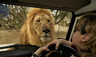 Where Is The Best Place To Save Money by African Lion Panthera Leo Republic Of South Africa