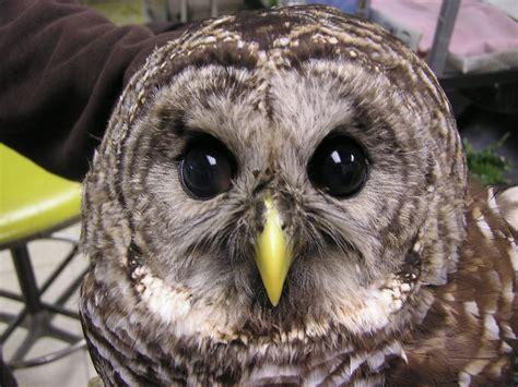 barred owl aurora il