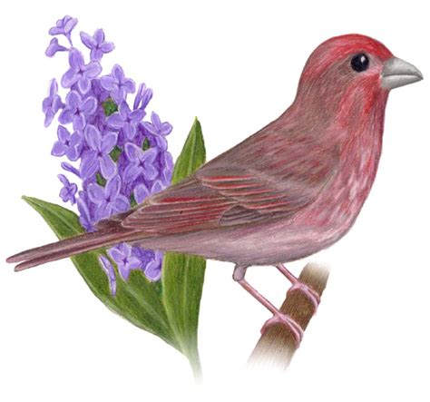 new hshire state bird and flower purple finch