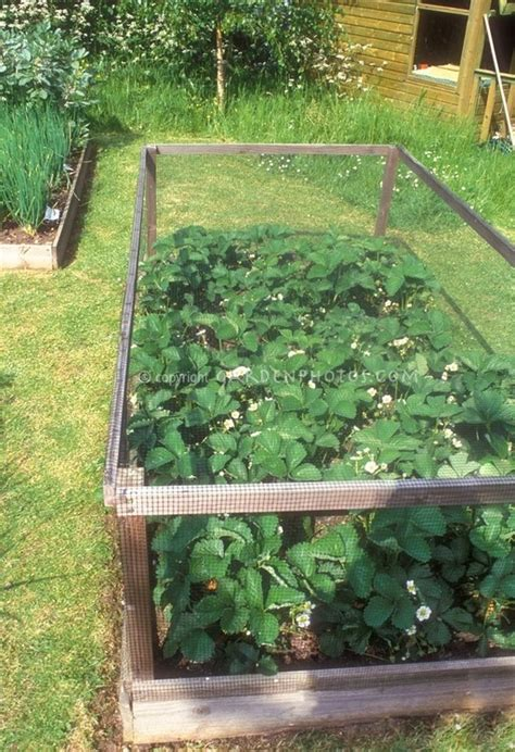 strawberry bed ideas strawberry cage right over the raised bed great idea