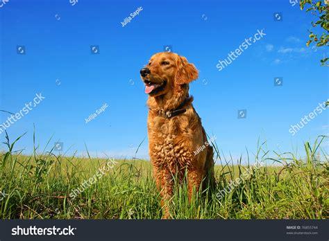 high meadow golden retrievers orange golden retriever portrait outdoors on green meadow blue sky stock
