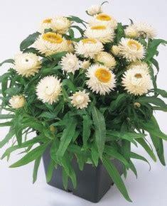 Pasaran Mixing White helichrysum chico series wellgrow horti trading