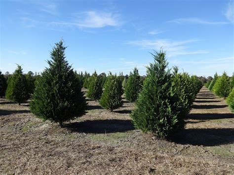 file hambrick s christmas tree farm leyland cypress