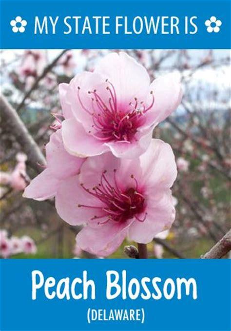 delaware state flower 50 best hometalk state flowers images on