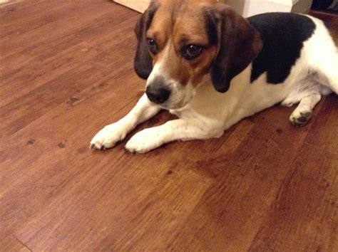 lost dogs illinois lost missing beagle chicago il united states 60625 on july 18 2015