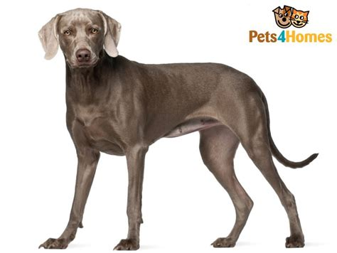 breed weimaraner weimaraner breed information buying advice photos and facts pets4homes