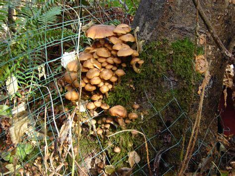 mushrooms growing in backyard mushroom s blog november 2006