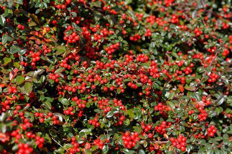piante con fiore rosso piante di natale con bacche rosse foto pollicegreen