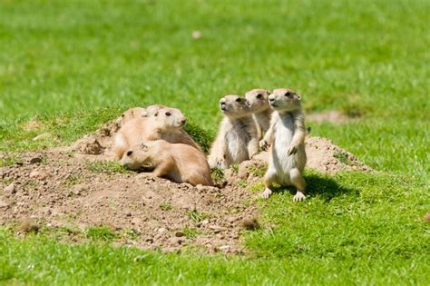where do prairie dogs live prairie dogs 6 animals with strong family bonds mnn nature network