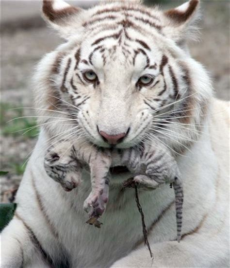 white albino tigers   White & albino animals   Pinterest