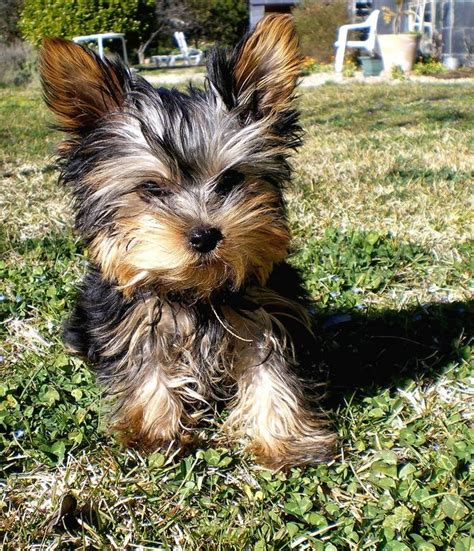 how to a yorkie to outside yorkie pup on grass outside jpg hi res 720p hd