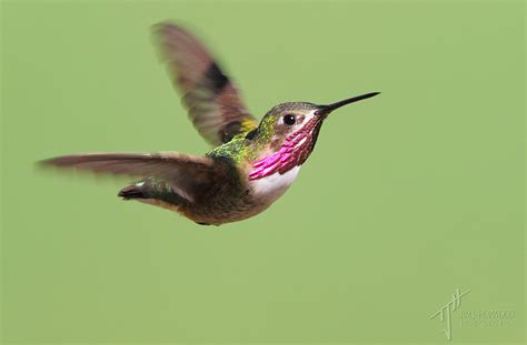 top 28 hummingbirds in bc best 28 hummingbirds in bc