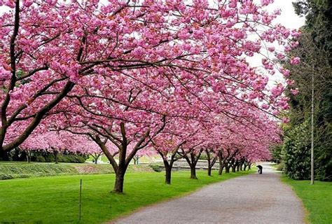 cherry tree used cars small weeping cherry tree car interior design