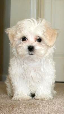 australian shepherd shih tzu mix grown shih tzu maltese mix grown photo happy heaven