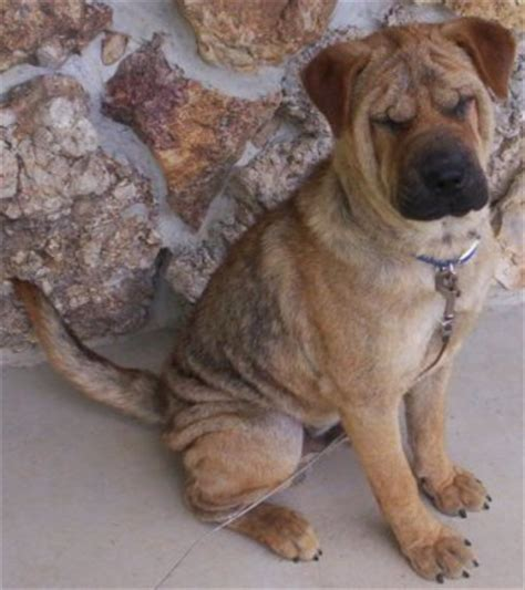 shar pei mix puppies chow pei shar pei chow chow mix info temperament puppies pictures