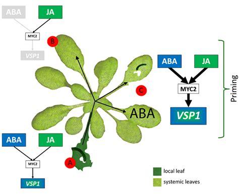 frontiers onset of herbivore induced resistance in