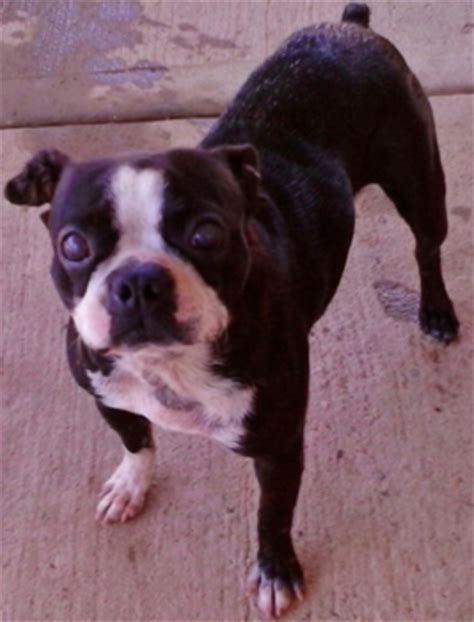 boston terrier puppies up for adoption adoption lilly the boston terrier needs a home ibostonterrier