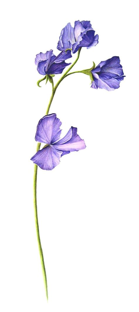 sweet pea flower tattoo best 25 sweet pea ideas on delicate