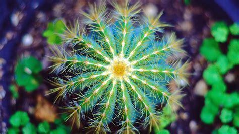 wallpaper cactus flower macro thorns spines