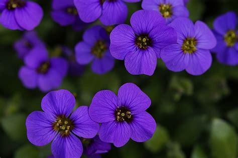 fiori colore viola significato viola