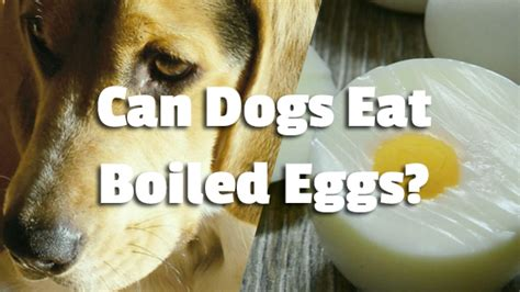 are boiled eggs for dogs can dogs eat boiled eggs pet consider