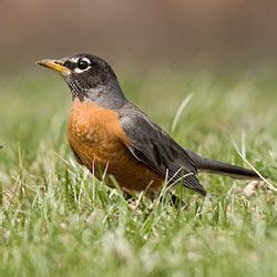 bird sounds american robin