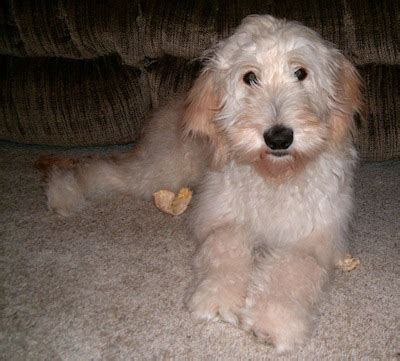 golden retriever poodle mix dogs golden retriever poodle mix