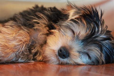 best food for yorkie with allergies how to choose the best food for yorkies the everything site