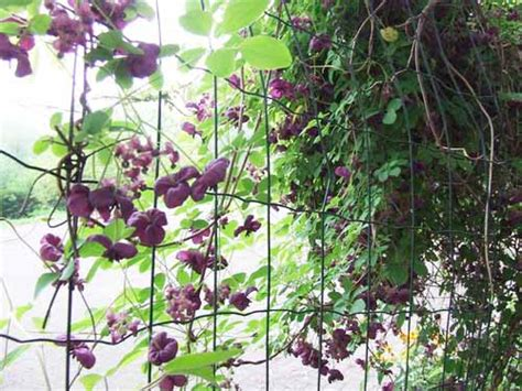 plants that climb fences climbing vines on fence www imgkid the image kid