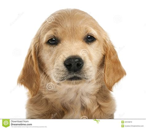 7 week golden retriever puppies up of golden retriever puppy 7 weeks royalty free stock photography