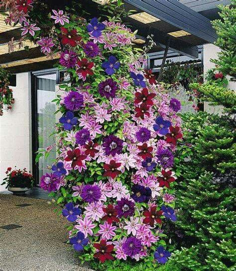 climbing plants sun 25 best ideas about clematis on clematis vine