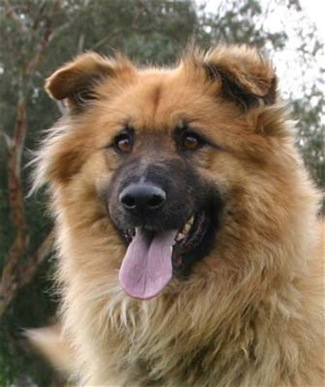 golden retriever german shepherd mix big german shepherds golden retriever german shepherd