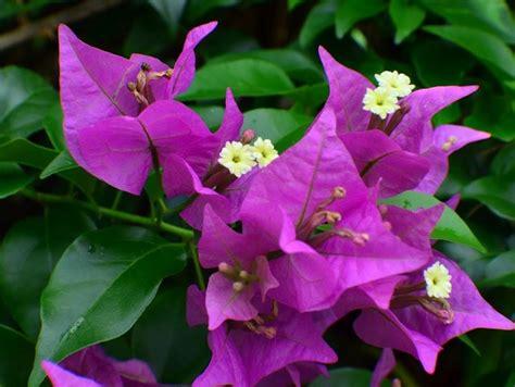 macam macam bunga hias  indonesia