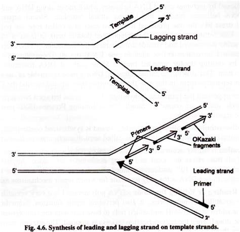 dna replication diagram dna replication with diagram molecular biology