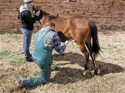 white male castration castration the when and how thehorse com