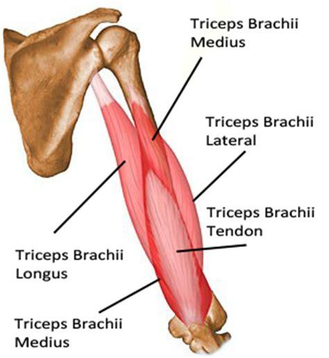 triceps diagram brandi s cutting edge methodology for developing
