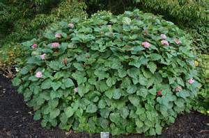 Full Sun Flowering Shrub - clerodendrum bungei landscape architect s pages
