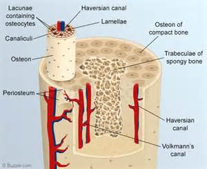 cross section of skeleton labeled human anatomy chart