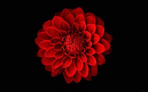 wallpaper flower red pz c red flowers