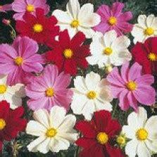 Biji Benih Cosmos Bright Lights Mix bibit bunga cosmos gloria