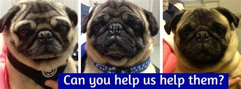 kentucky pug rescue fundraiser by ferguson bluegrass pug rescue heartworm pugs