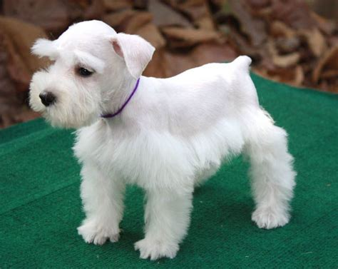 white schnauzer puppy 1881 best images about schnauzervillie on standard schnauzer schnauzer