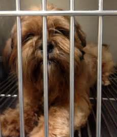 Humane Society Pontiac Mi Found Brown Shih Tzu Pontiac Michigan Humane