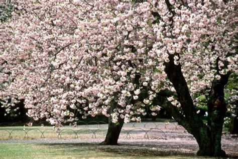 il giardino dei ciliegi cechov il giardino dei ciliegi di cechov la decadenza 232 di scena