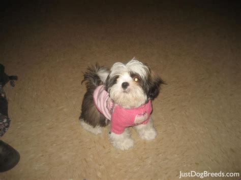 small breed shih tzu puppies small breeds with shih tzu breed with breeds picture