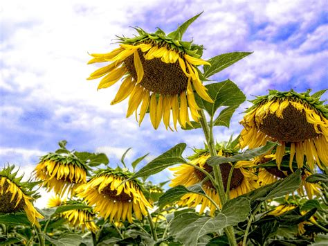 sunflower sunny summer days desktop backgrounds  wallpaperscom