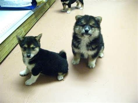 shiba inu puppies dogs  sale  mesa arizona az