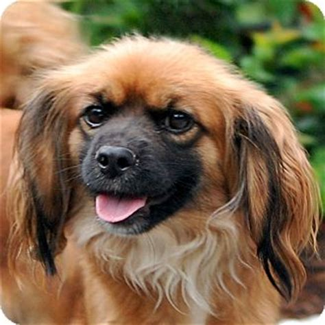 shih tzu king charles mix pet not found