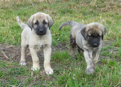 shepherd puppies anatolian shepherd