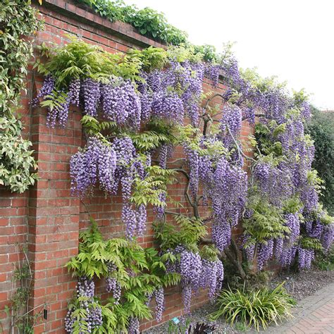 training wisteria vines to wall training wisteria vines to wall newhairstylesformen2014 com